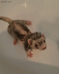 gifak-net:  video:   Ferret Relaxes in Bathtub     I want what the white one has… So relaxing…