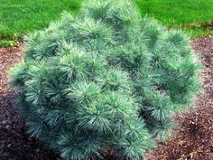 'Blue Shag' dwarf white pine - Another choice for the front, great winter presence, and soft texture during the growing months.