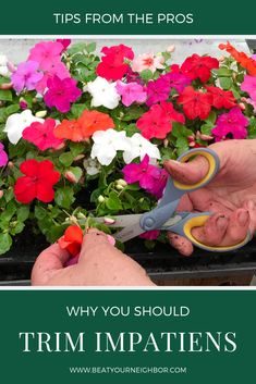 and Why You Should Trim Impatiens Have beautiful impatiens this year with this simple trick.Have beautiful impatiens this year with this simple trick. Annual Flowers For Shade, Shade Flowers, Tropical Flowers, Tropical Plants, Growing Flowers, Planting Flowers, Shade Garden, Garden Plants, Potted Plants For Shade