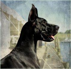 GREAT DANE....looks just like a friend's dog, Cleo, years ago...
