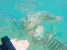 Feeding the fish ... The rainbow ones bite!!!  #daydream #daydreamisland #fish #greatbarrierreef #snorkeling #queensland by taynels7 http://ift.tt/1UokkV2