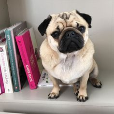 Proudly displaying my handiwork! I'm just on my way over to @alphie.and.teddy.pug 's to help with a few jobs  I have excellent references and will do most jobs for a small piece of cheese or roast chicken  #hireapug #nojobtoobigortoosmall!!! #purepugspp #pug #pugs #pugsofinstagram #pugbasement #pugsproud_feature #badasspugclub #bubblebeccahat #cupcake_pug #dailydoseofpugs #eddthepug #flatnosedogsociety #gilesfriends #heyportiapickme #henrys1inamillion #itslolathepug #lolasfotw #lacyandpaws…