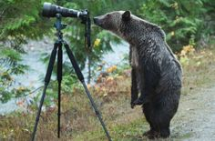 A once-in-a-lifetime shot of a grizzly bear appearing to set up a photo has a B. wildlife photographer in the middle of a viral cyberstorm, 2014 - by Jim Lawrence, Canadian Animals And Pets, Funny Animals, Cute Animals, Wild Animals, Black Bear, Brown Bear, Beautiful Creatures, Animals Beautiful, Animals Amazing