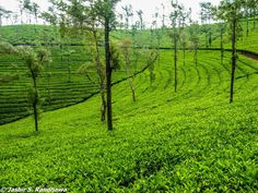 Indian Tea Farm