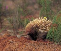 Echidna - the cutest of all Australian animals!