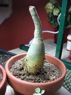 Image result for how to prune desert rose