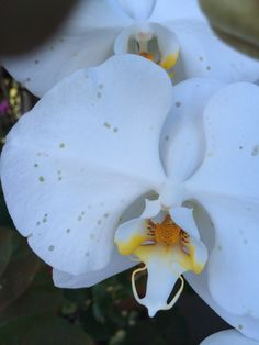 Botrytis On Orchid - http://www.gardenanswers.com/plant-diseases/botrytis-on-orchid/