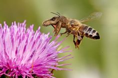 Why raise honeybees? article on Beekeeping Guide with pros and cons about raising bees in your backyard from The Old Farmer's Almanac. Honey Bee Sting, Honey Bees, Beekeeping For Beginners, Raising Bees, Raising Rabbits, Bee Do, Old Farmers Almanac, Backyard Beekeeping, Bee Friendly