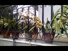 Orquideas Cymbidium floridas