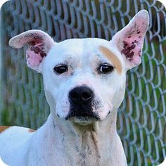 Pictures of ELISE a Pit Bull Terrier Mix for adoption in Brooksville, FL who needs a loving home.