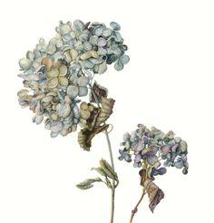 http://www.soc-botanical-artists.org/artist/gael-sellwood/