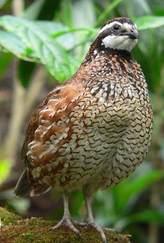 Missouri's State Game Bird Is The Bobwhite Quail