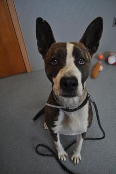 Lilo - located at ISLIP ANIMAL SHELTER AND ADOPT-A-PET CENTER in Bay Shore, NY - 2 year old Female Pit Bull Terrier mix - She is an adorable girl, pretty brindle and white combo, with giant ears that give her tons of personality. She'd do best with kids over 5.