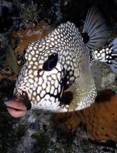 Smooth Trunkfish - tiny fish w/Angelina Jolie lips. Life Under The Sea, Under The Ocean, Sea And Ocean, Underwater Creatures, Underwater Life, Beautiful Sea Creatures, Beneath The Sea, Salt Water Fish, Water Animals