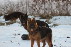 Jardan, Anky en Flam lekker spelend in de sneeuw! Corgi, Animals, Corgis, Animales, Animaux, Animal, Animais