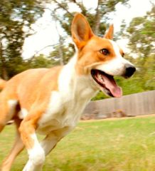 CHEVY Male Age: Young Size: Medium Breed: Australian Cattle Dog / Kelpie Mix Up to Date on Shots: Yes Spayed/Neutered: Yes House Trained: ...