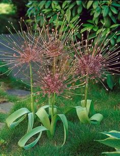 Giant Allium Allium schubertii.  I have a half dozen of these and need to figure out where to put them.