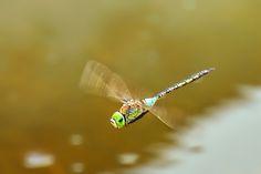 https://flic.kr/p/8yp7wE | Anax imperator female (Odonata: Coenagrionidae Anisóptera) | La libélula emperador (Anax imperator) es una especie de odonato anisóptero de aproximadamente 8 cm de largo que habita los humedales. Grao de Castellón (Spain).