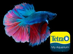 Originally from Southeast Asia, for short periods can breathe air using their labyrinth organ. A kind of Halfmoon Betta, the Rosetail (or Feathertail Betta) also sports a fan-like tail, but has excessive branching and overlapping in its fin rays that resembles the ruffled appearance of a rose.   Freshwater Top Feeder Skill Level: Great beginner fish Daily Diet: BettaMin® Flake Medley Supplement: Tetra® Betta Floating Mini Pellets Treats: TetraBetta™ Worm Shaped Bites Halfmoon Betta, Betta Fish, Colorful Fish, Freshwater Fish, Southeast Asia, Fresh Water, Breathe, Fan, Diet