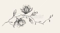 Magnolia Flower Drawing