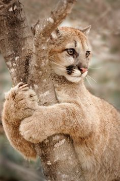 'Hold On' photo by Laurie Hernandez, young cougar (mountain lion or puma) in Minnesota (Big Cats) dunway. Nature Animals, Animals And Pets, Cute Animals, Wildlife Nature, Animals Images, Baby Animals, Beautiful Cats, Animals Beautiful, Beautiful Life