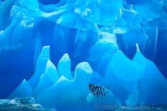 Amazing!  Click link to get a better view! Chinstrap penguins on iceberg, Pygoscelis antarcticus, Antarctica