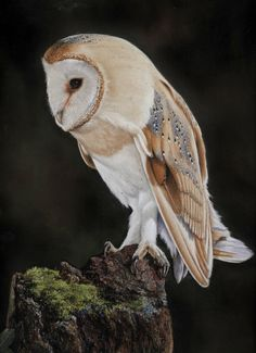 Barn Owl in Pastel Pencils from the picture gallery: http://www.colinbradleyart.co.uk/home/about-us/picture-gallery/