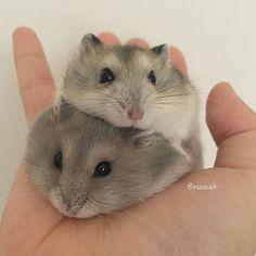 Two djungarian Hamsters - zwei djungarische zwerghamster Cute Little Animals, Cute Funny Animals, Hamster Pics, Russian Hamster, Funny Hamsters, Robo Dwarf Hamsters, Robo Hamster, Tier Fotos, Cute Animal Pictures