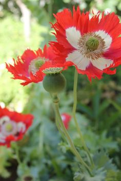 Poppies... very different