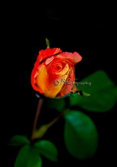 Beautiful Orange Rose Photography by PhotographyByRoxanna on Etsy