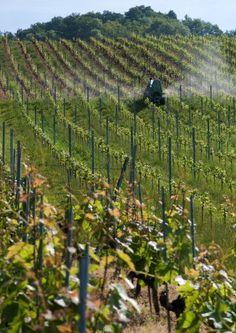 DOMAINE DU DALEY - Ch. Des Moines - CH-1095 LUTRY - T + 41 21 791 15 94 - F + 41 21 791 58 61 - M + 41 79 544 39 23 - info@daley.ch - www.daley.ch Wine Cellars, Switzerland, Vineyard, Outdoor, Mountains, Landscape, Outdoors, Vine Yard, Wine Fridge