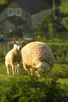 Mama ewe & her wee lamb. Country Farm, Country Life, Country Girls, Country Living, Alpacas, Farm Animals, Cute Animals, Sheep And Lamb, Lord Is My Shepherd