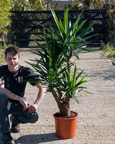 Indoor yucca £145 House of Plants