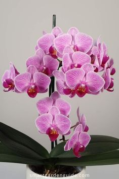 Complete guide to Phalaenopsis orchid care. I discuss all aspects of growing Phalaenopsis orchids. This article is especially useful for beginners, or if you are having problems with your Phalaenopsis orchid. These orchid care tips will soon have your houseplant thriving again.
