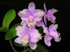 Cattleya lodigeesii orchids seeds