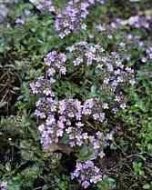 Thymus serpyllum (Wilde Tijm) needs a sunny spot, grows about 10cm tall and forms spreading clumps of 30cm. Very attractive for bees and butterflies