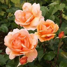 Cold-Hardy Hybrid Tea Roses: Part 2 'Perfect Moment' -- double flowers, red with yellow bases 'Tiffany' -- scented, pink double flowers 'Tropicana' -- brilliant orange flowers and fruity fragrance; also a climbing form 'White Delight' -- double flowers, ivory with pink centers