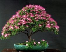 Mimosa * Silk Tree Seeds * Makes A Great Bonsai Specimen
