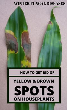 Winter Fungal Diseases: How To Get Rid Of Yellow And Brown Spots On Houseplants - GardenTipz.com #BrownSpotsOnSkin Sun Spots On Skin, Brown Spots On Hands, Spots On Forehead, Sunspots On Face, Types Of Fungi, Plant Fungus, House Plant Care, Yellow And Brown, Dark Brown