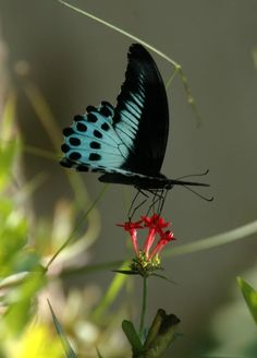 The Blue Mormon (Papilio polymnestor) Butterfly Photos, Butterfly Kisses, Butterfly Flowers, Butterfly Dragon, Monarch Butterfly, Blue Butterfly, Most Beautiful Butterfly, Beautiful Bugs, Blue Mormon