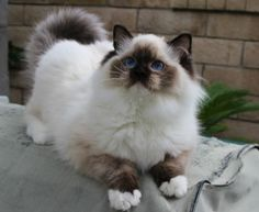 Ragdoll Cats Ragdoll Kittens by Rock Creek Ranch Ragdoll Cattery - Ragdoll Cats Kings & Queens and like OMG! get some yourself some pawtastic adorable cat apparel!