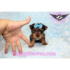 42 Best Available Puppies In Los Angeles Images Los Angeles Tea