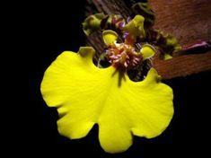 Oncidium bifolium. Argentina. (Orquidário Morumby, São Paulo).