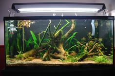 Really nice setup! I could imagine that this would be a verry fun tank to watch. Throw in some clown lochies and Cory Dora and maybe some brightly colored fish like a gourami and your good to go!