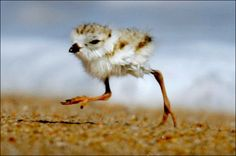 A 2-day old piping plover