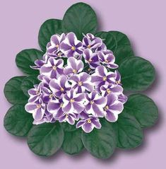 Dr. Planta: Tudo sobe Violeta.