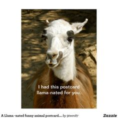 A Llama -nated funny animal postcard. Postcrossing Postcard