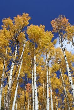 The aspen tree is a typical tree species growing wild across the United States. If you want to grow an aspen in your backyard, you should be prepared to give the tree a lot of tender loving care. Trees And Shrubs, Trees To Plant, Aspen Landscaping, Landscaping Ideas, Trees For Front Yard, Twisted Tree, Aspen Trees, Tree Care, Fruit Trees
