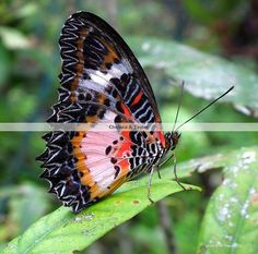 red-pink-black-colored-butterfly-resting