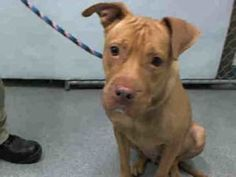 Manhattan center BROOKLYN  – A1089371  FEMALE, BROWN, PIT BULL MIX, 1 yr STRAY – STRAY WAIT, NO HOLD Reason STRAY Intake condition UNSPECIFIE Intake Date 09/11/2016, From NY 11211, DueOut Date 09/14/2016,